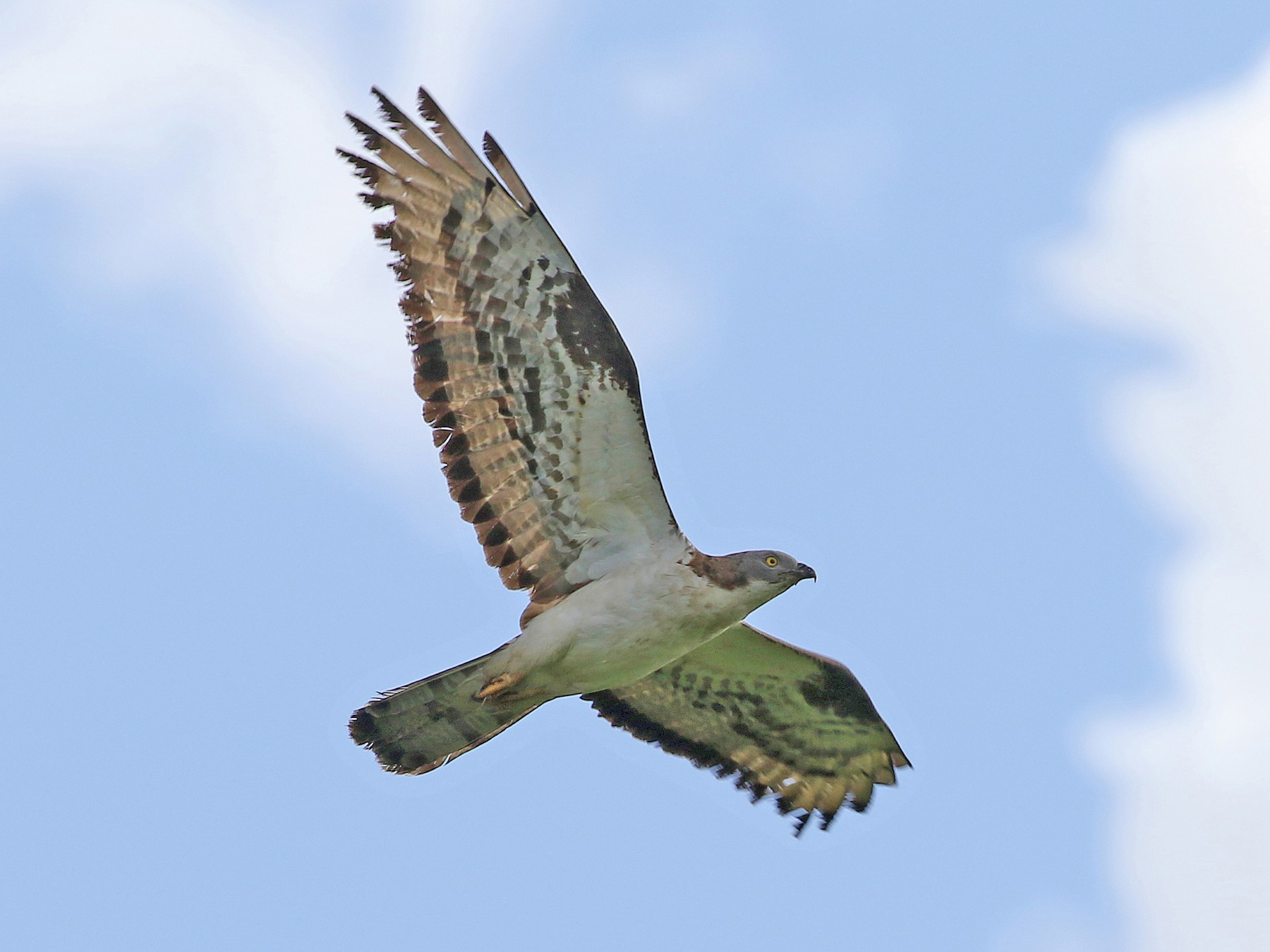 European Honey-buzzard - Simon Buckell
