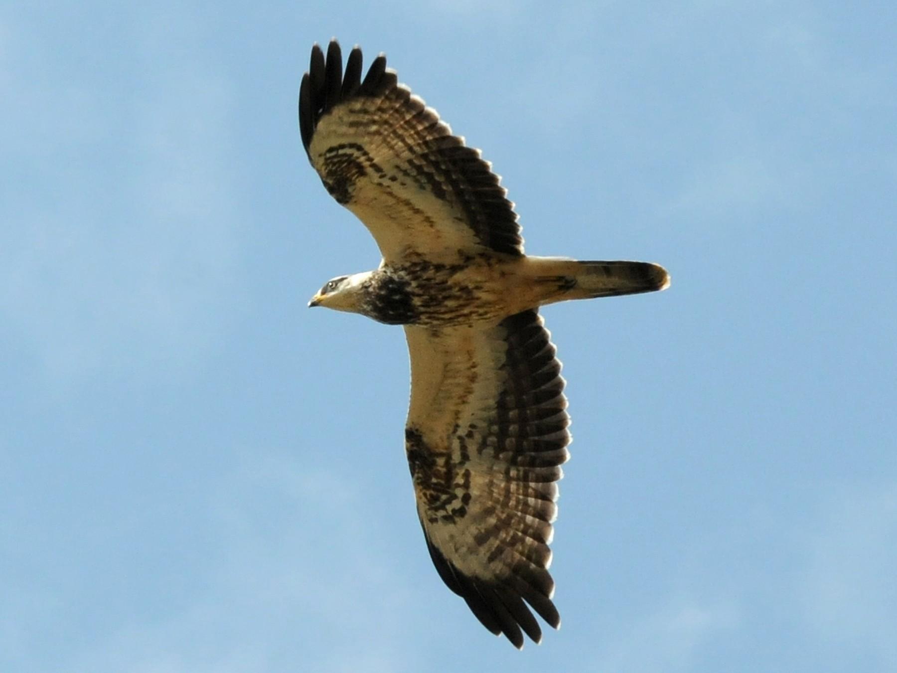 European Honey-buzzard - Fran Trabalon