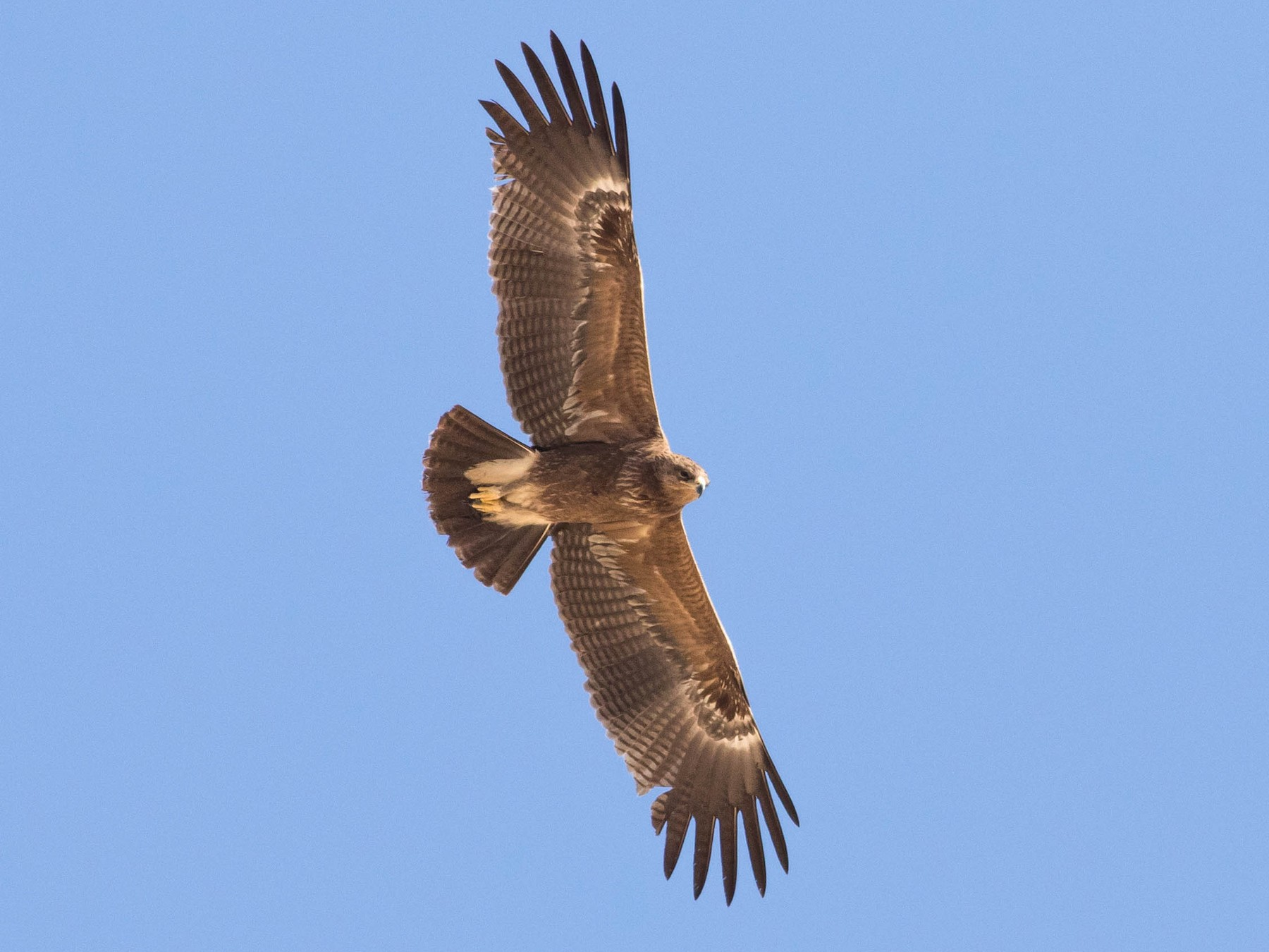 Lesser Spotted Eagle - Doug Gochfeld