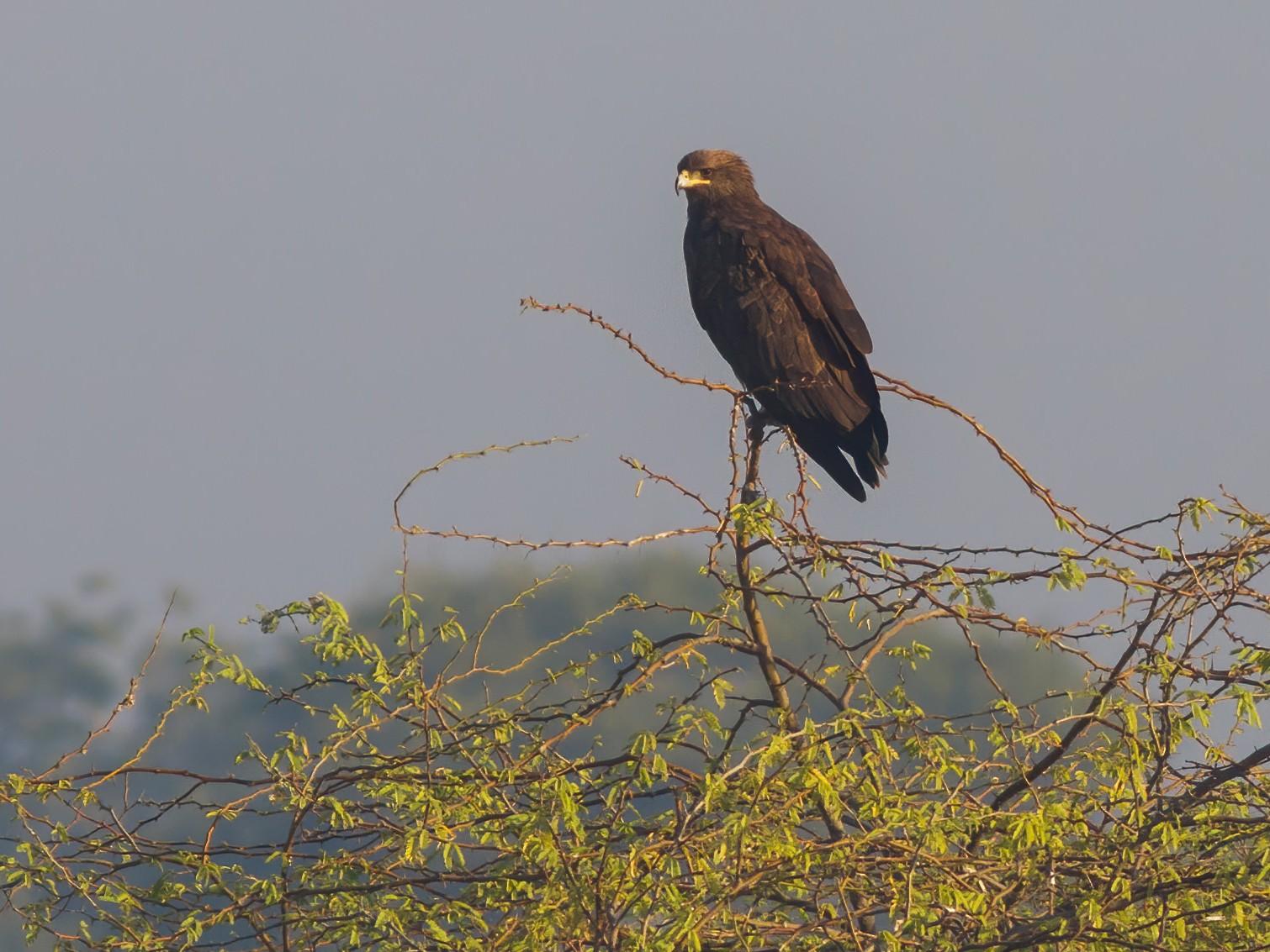 Greater Spotted Eagle - Yeray Seminario