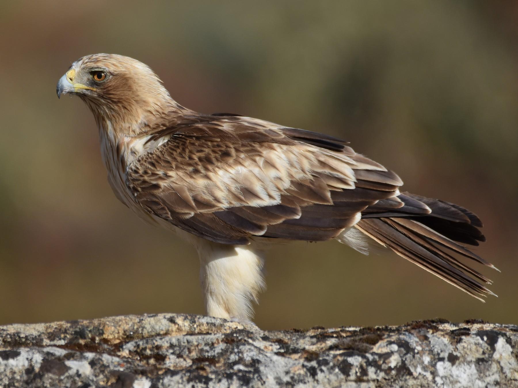 Booted Eagle - Santiago Caballero Carrera