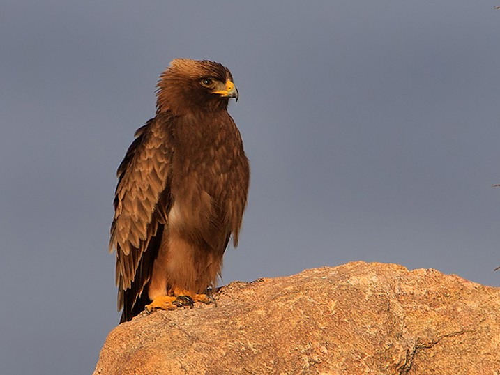 Booted Eagle - Subramanya C K