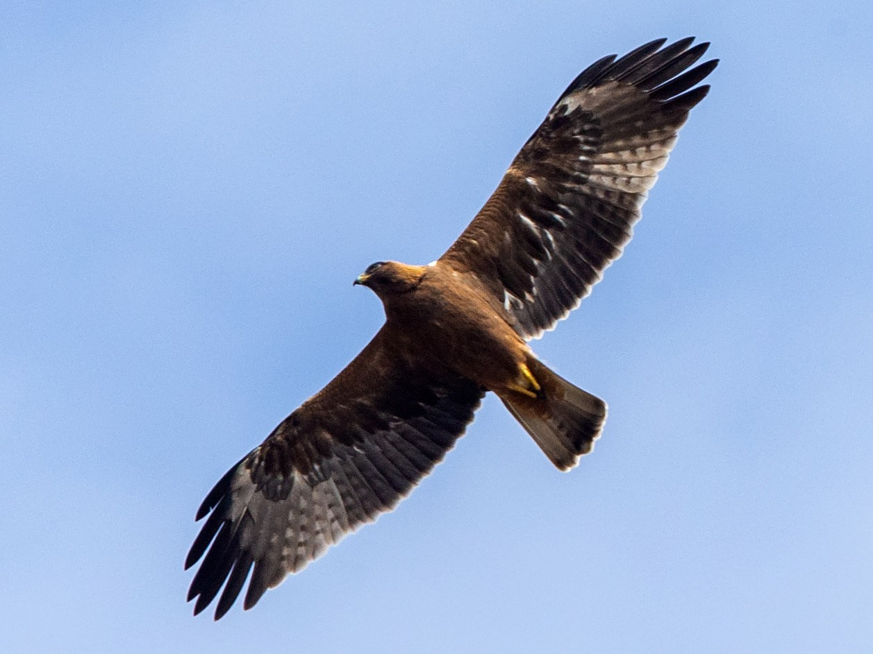 Booted Eagle - Andy Butler