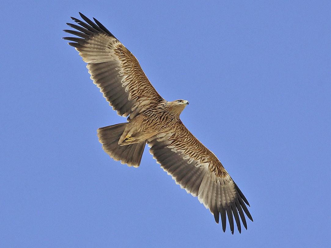 Imperial Eagle - Jens Eriksen