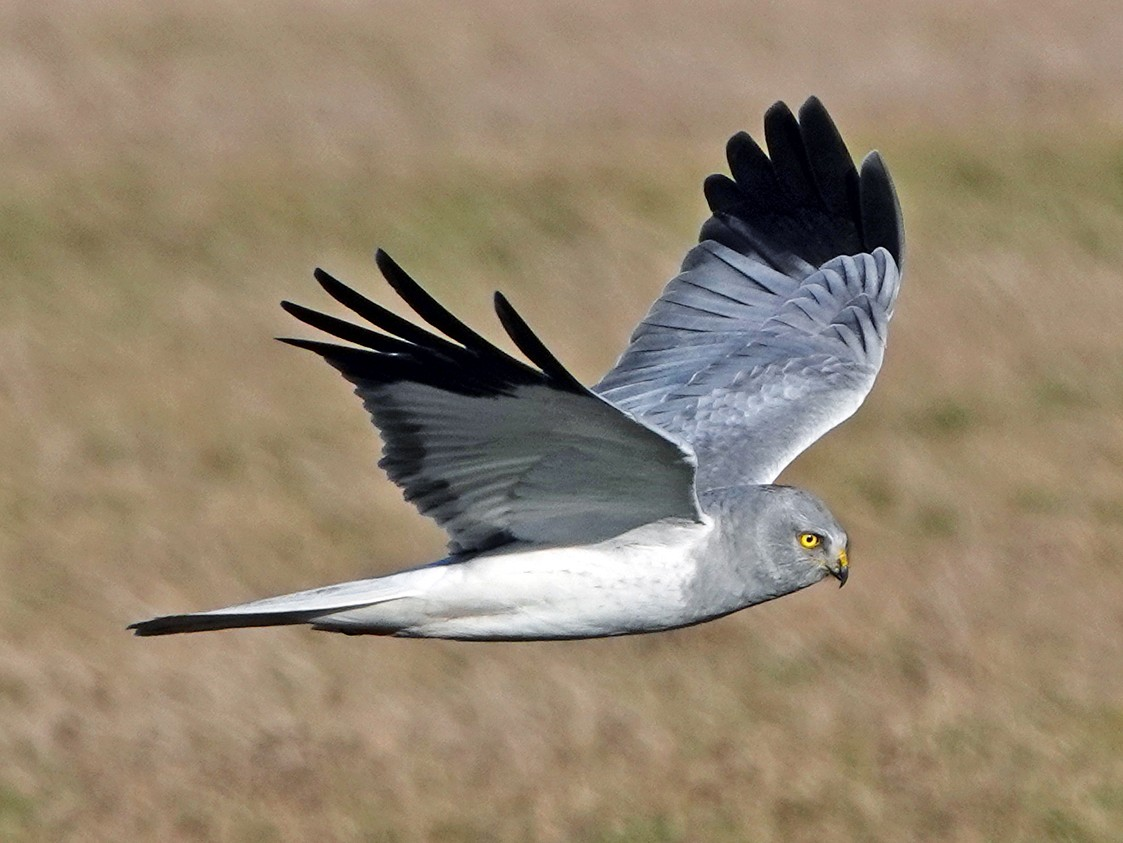 Hen Harrier - Roksana and Terry