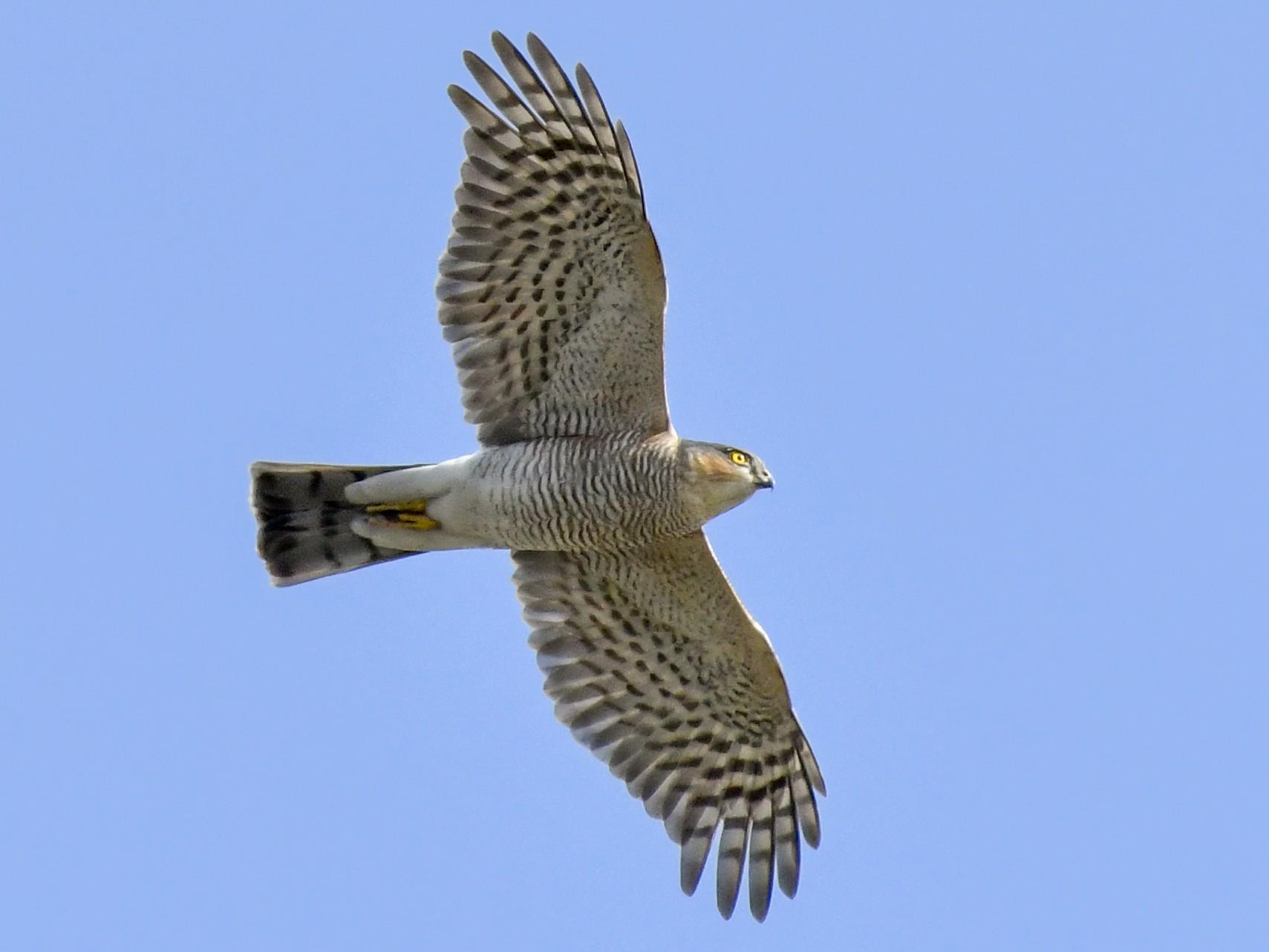 Eurasian Sparrowhawk - Magnus Andersson