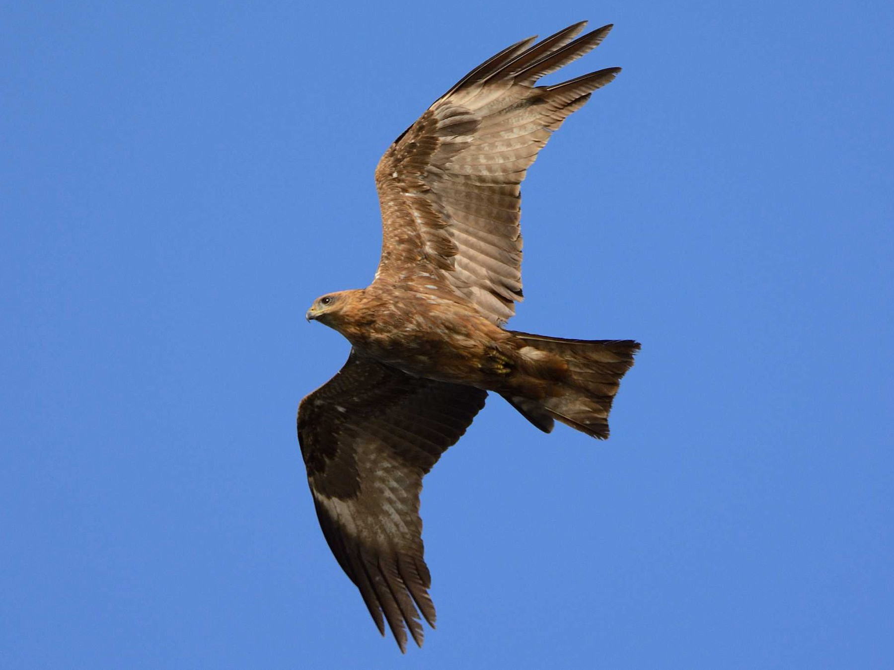 Black Kite - Eric francois Roualet