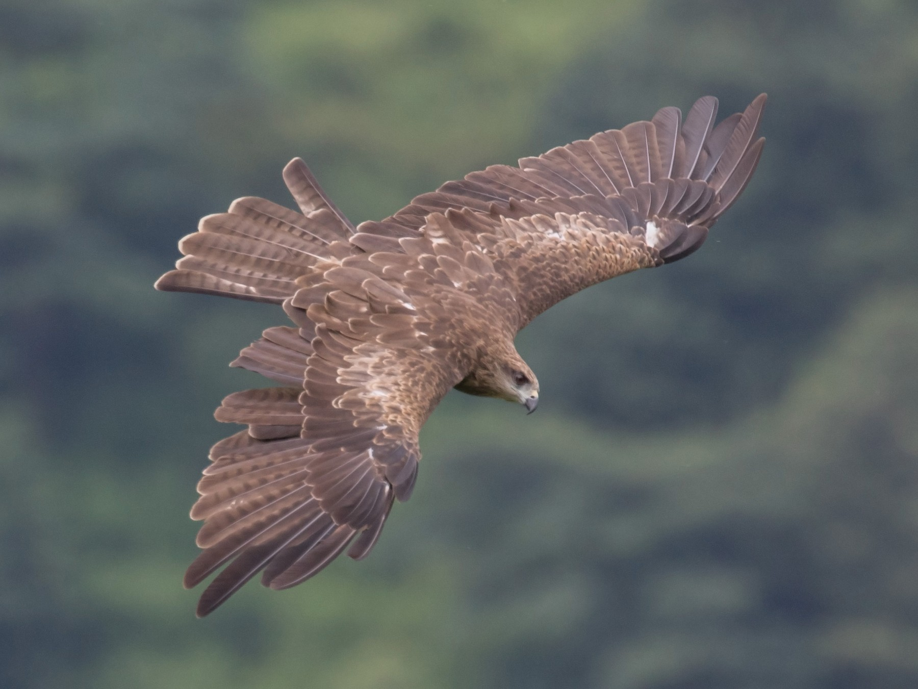 Black Kite - William Hearn