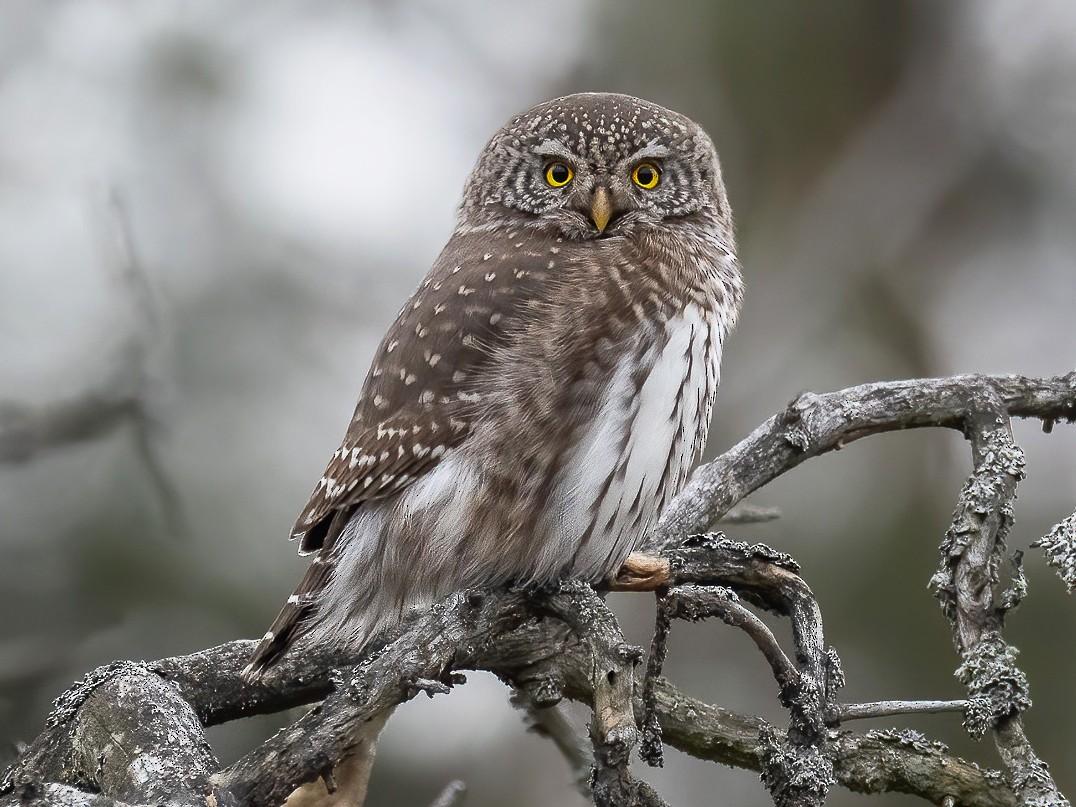 Eurasian Pygmy-Owl - Matti Rekilä