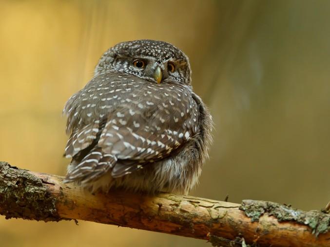 Eurasian Pygmy-Owl - Paweł Wacławik