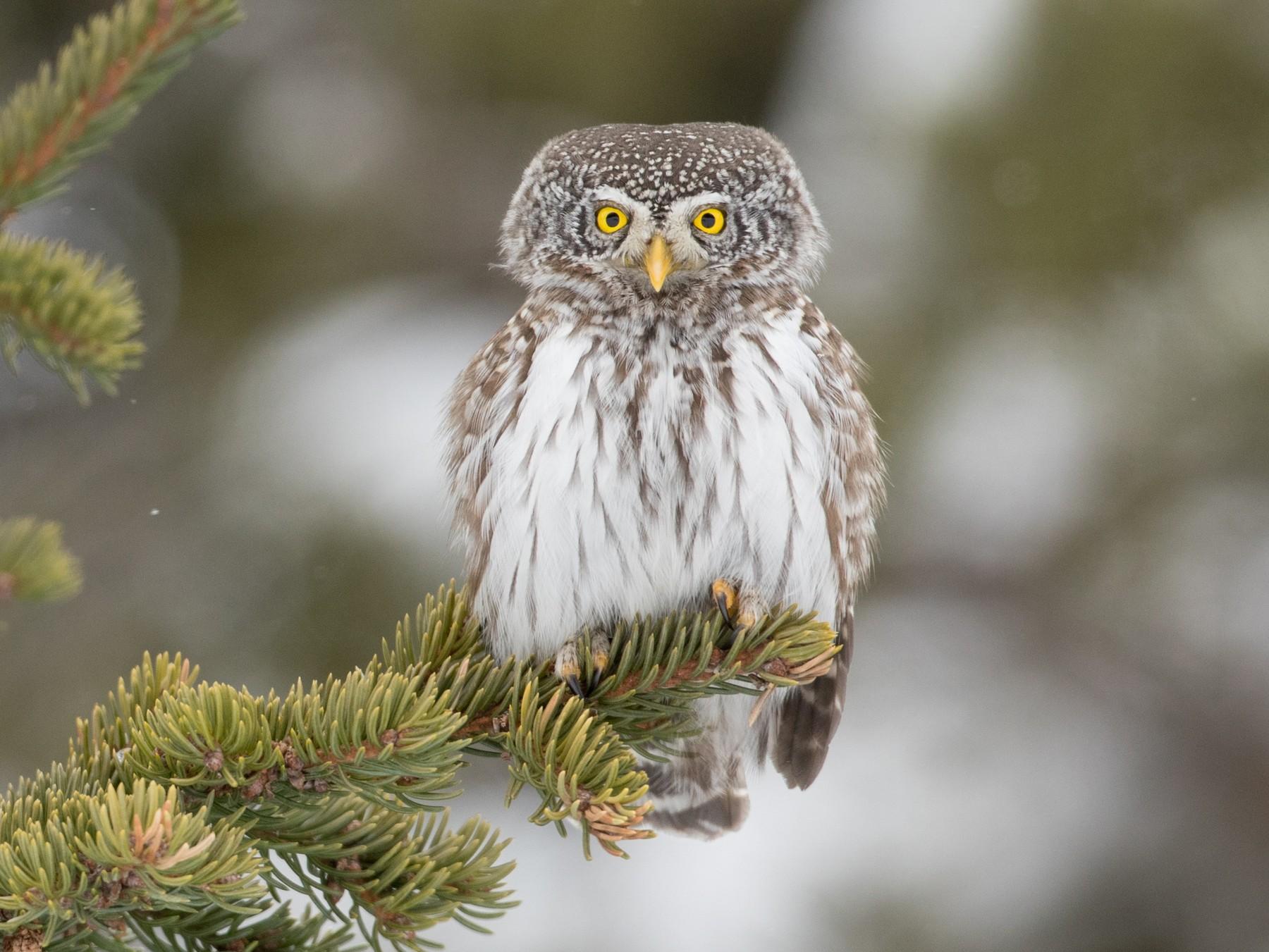 Eurasian Pygmy-Owl - Ian Davies