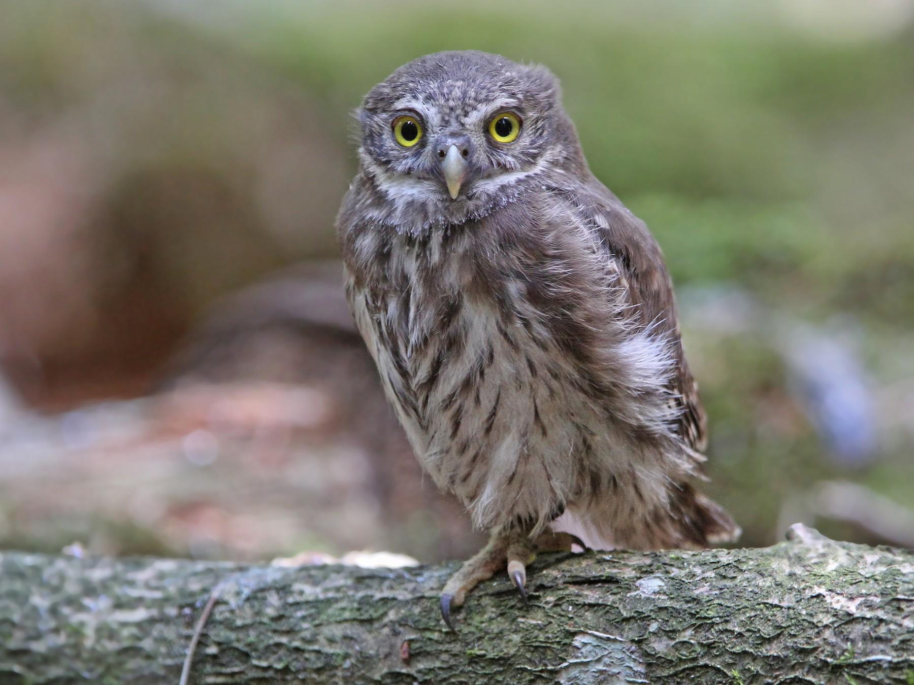 Eurasian Pygmy-Owl - Christoph Moning