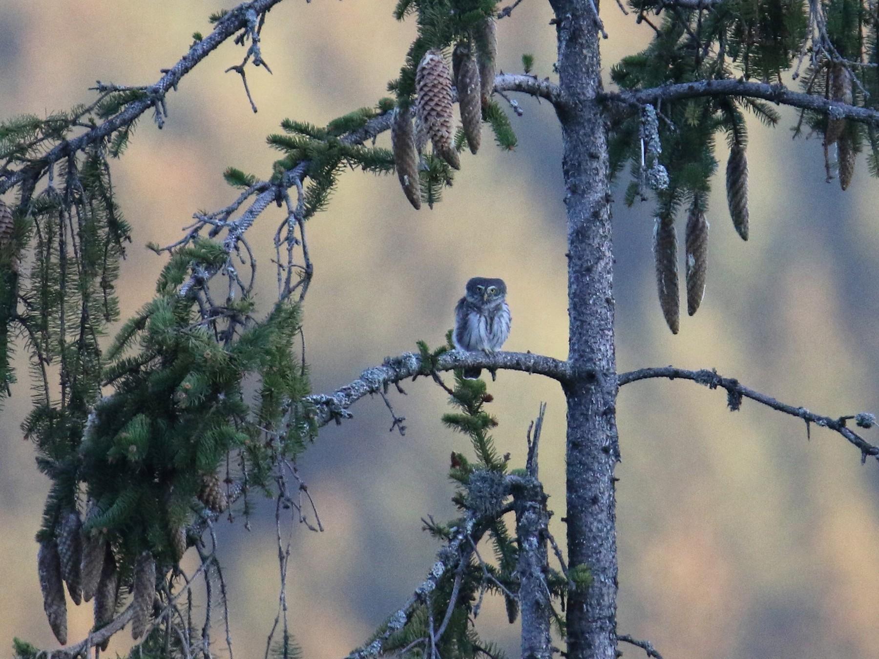 Eurasian Pygmy-Owl - Ingo Rösler
