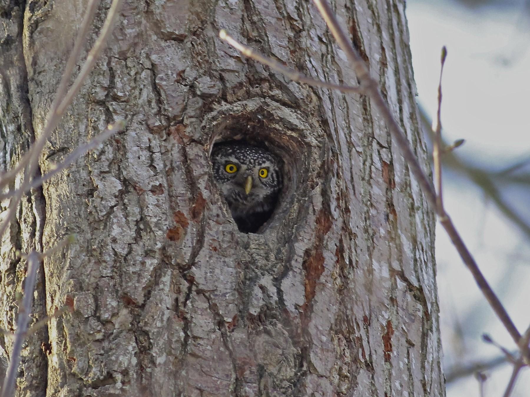 Eurasian Pygmy-Owl - Erik Groth-Andersen
