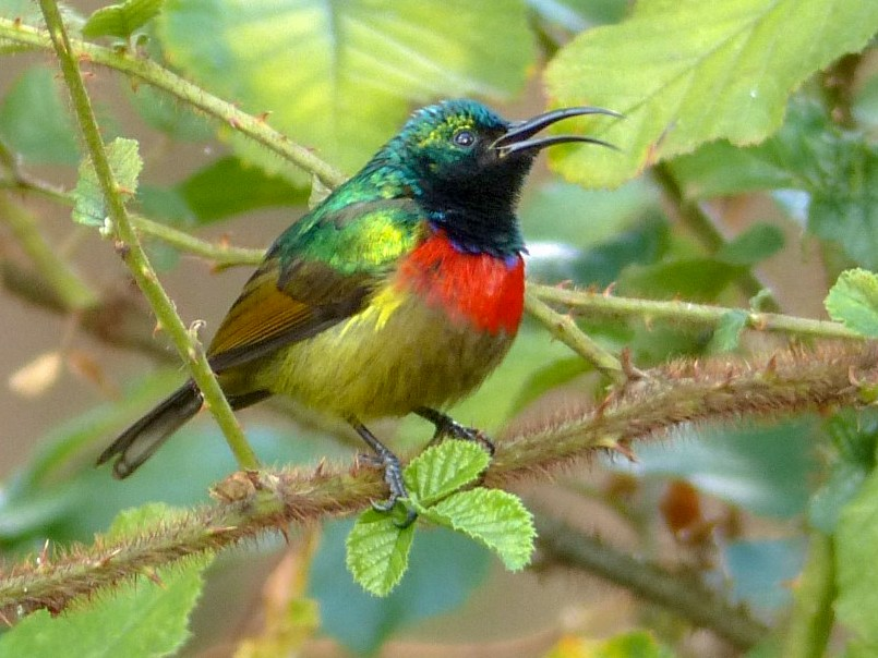Forest Double-collared Sunbird - Anonymous eBirder