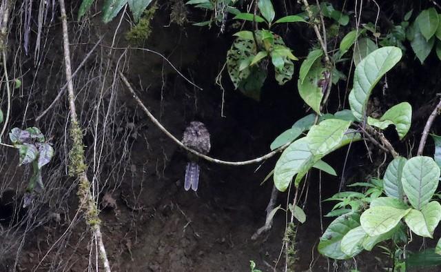 Lyre-tailed Nightjar