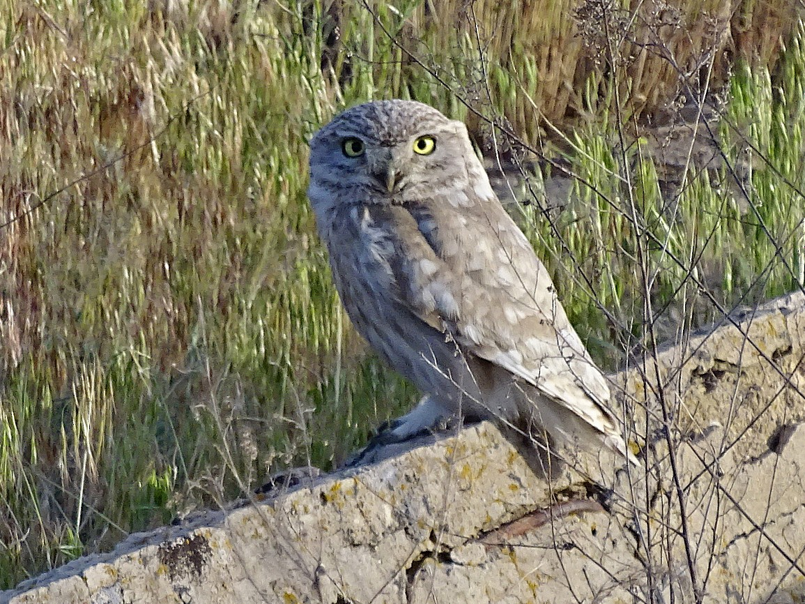 Little Owl - Jens Thalund