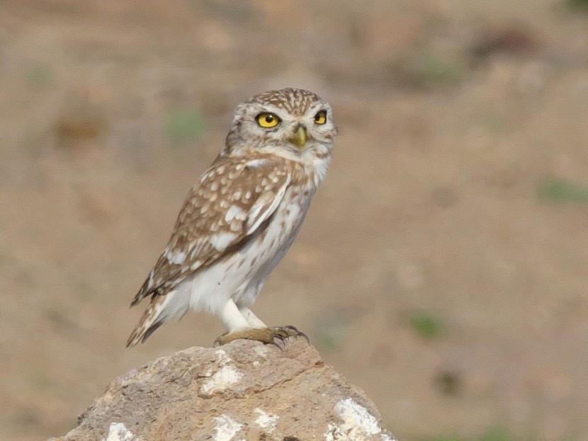 Little Owl - Tommaso Renzulli