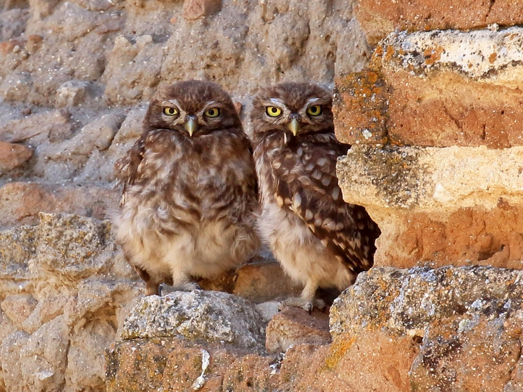 Little Owl - Jorge García Mora