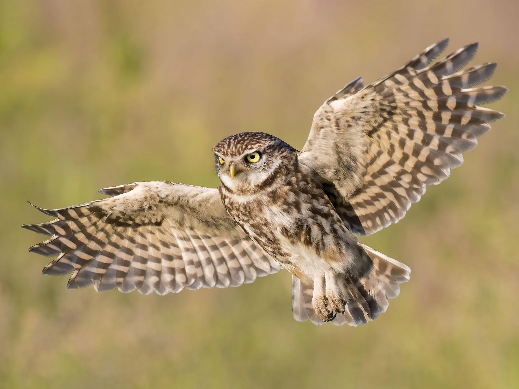Little Owl - Pascal De Munck