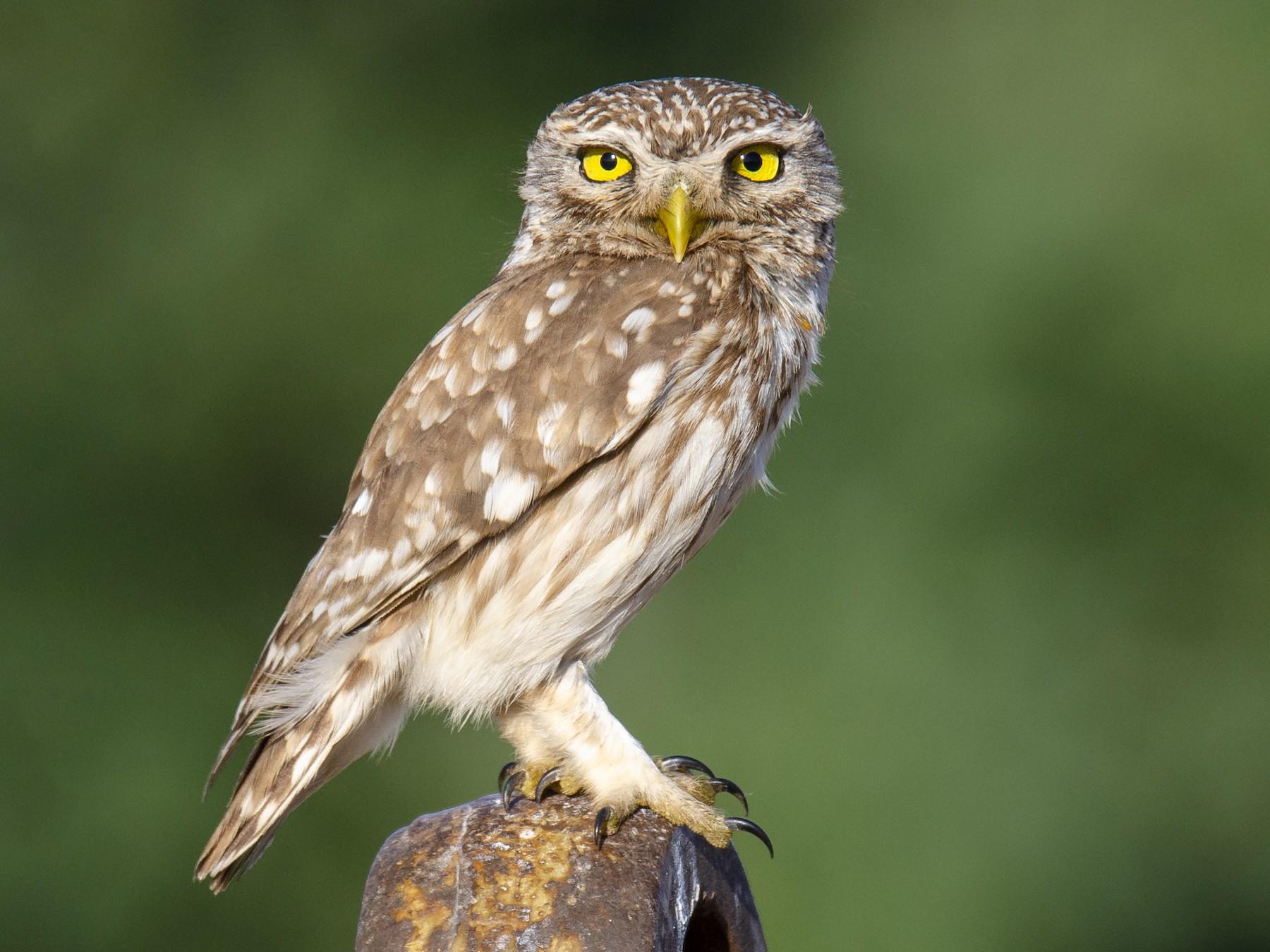 Little Owl - Sinan Yılmaz