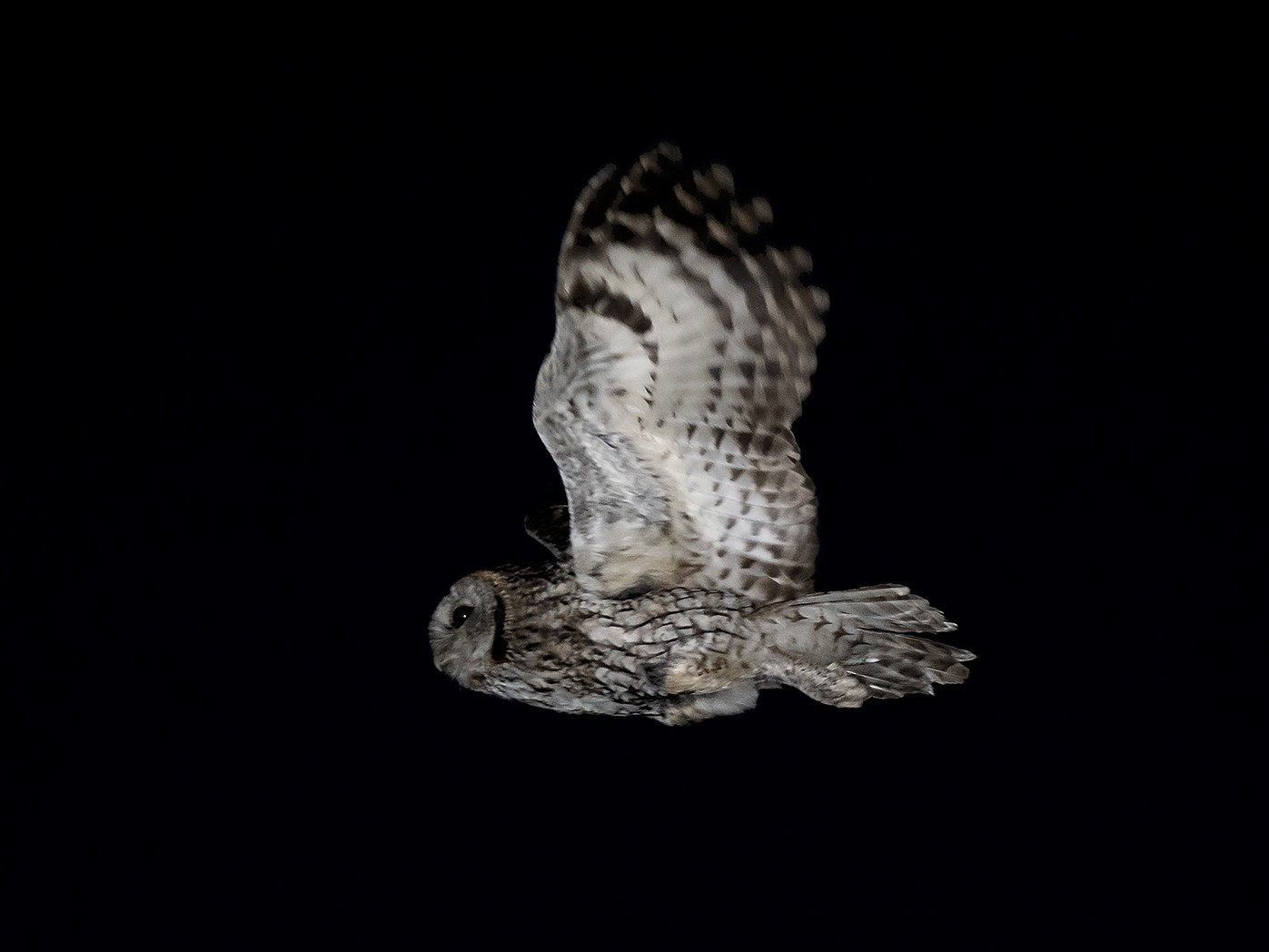 Tawny Owl - Miguel Rouco