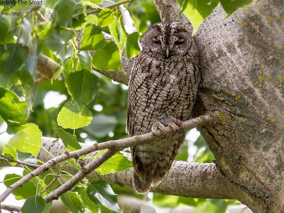 Tawny Owl - Javi Elorriaga