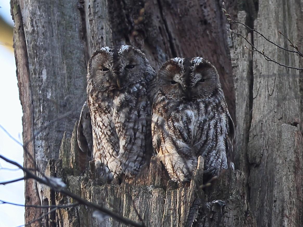 Tawny Owl - Holger Teichmann