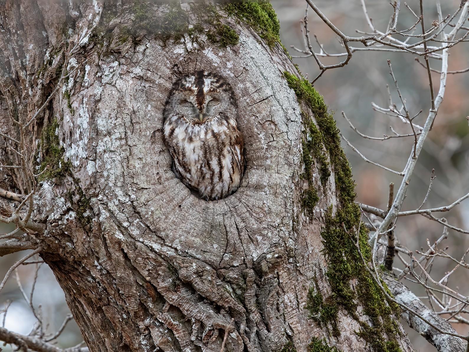 Tawny Owl - Ivan Sjögren