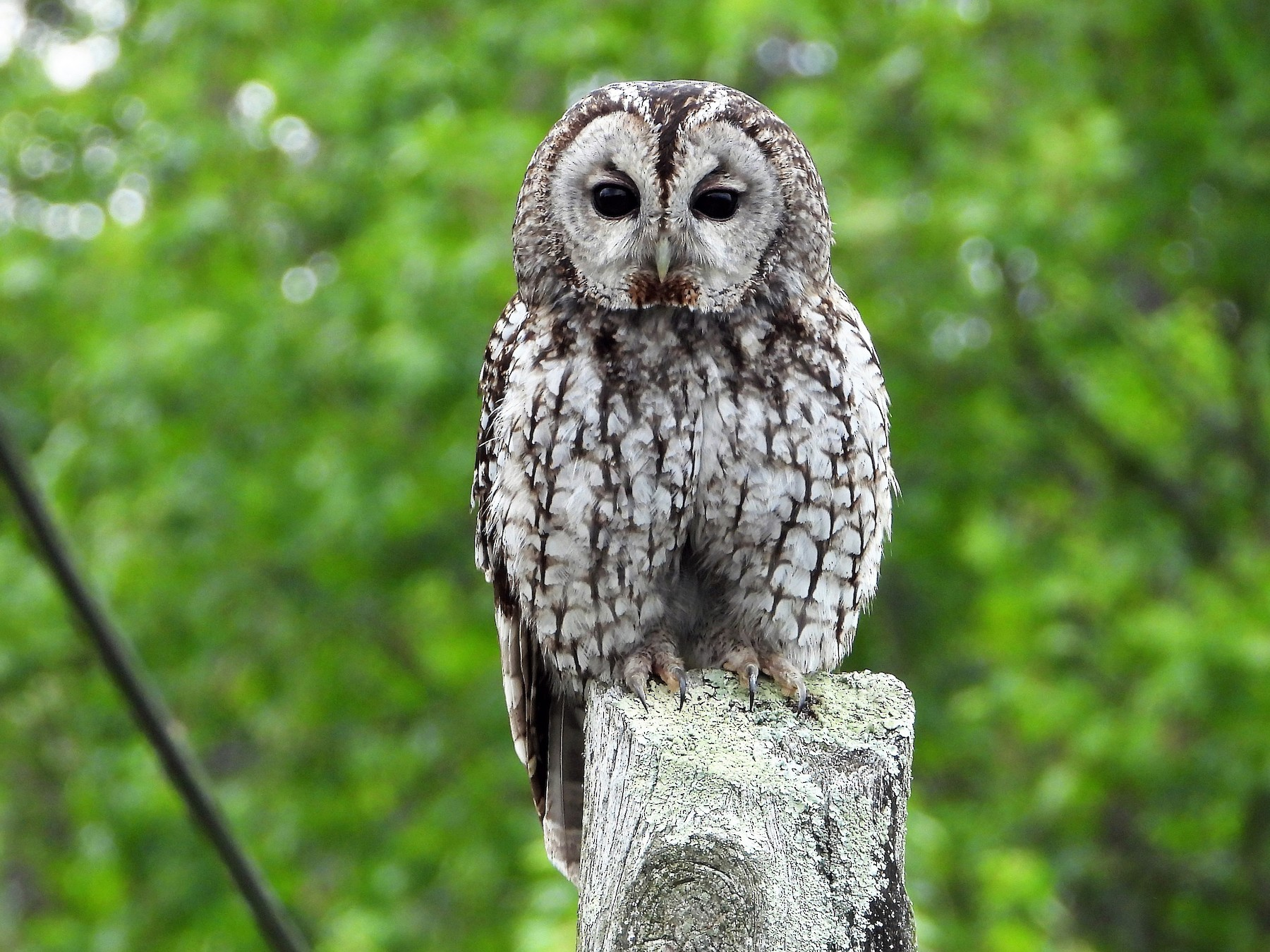 Tawny Owl - J. Alfonso Diéguez Millán