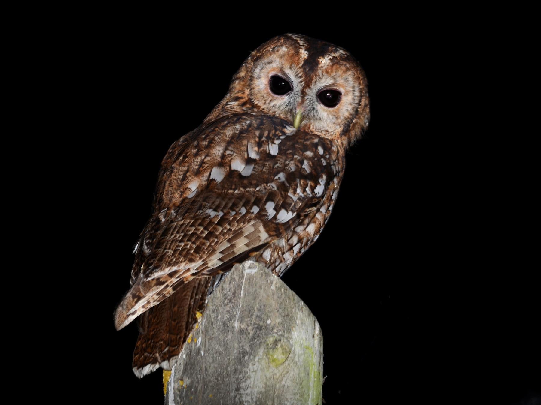 Tawny Owl - José Frade