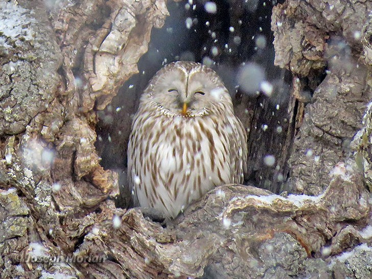 Ural Owl - Joseph Morlan