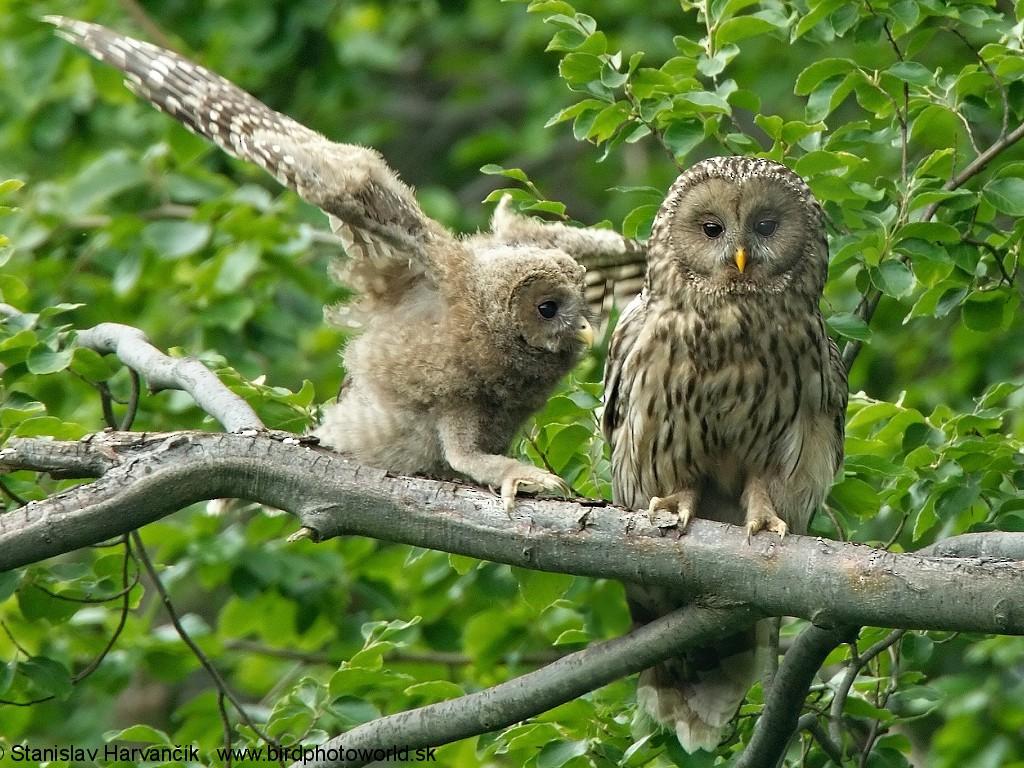 Ural Owl - Stanislav Harvančík