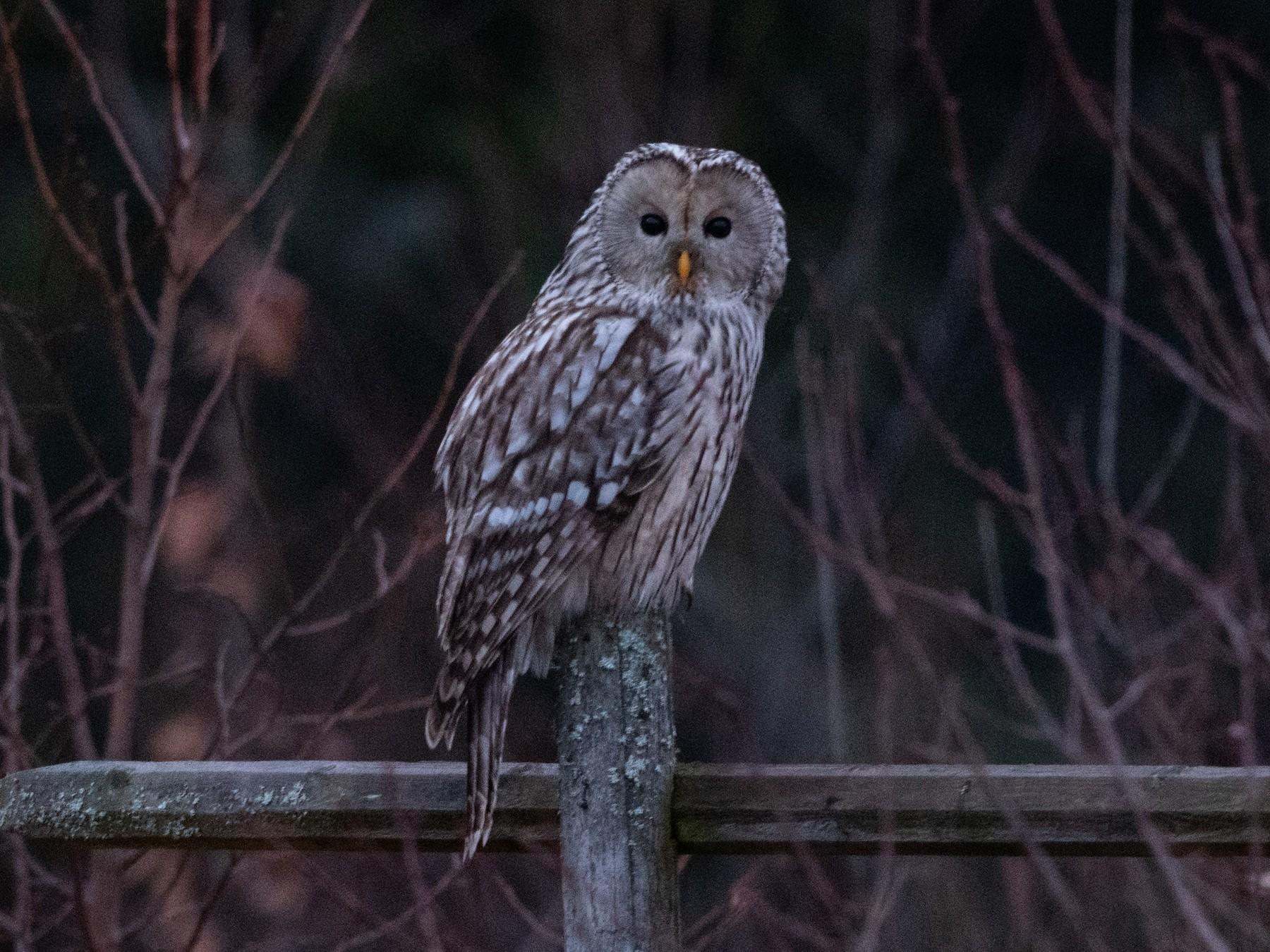 Ural Owl - Hans Norelius