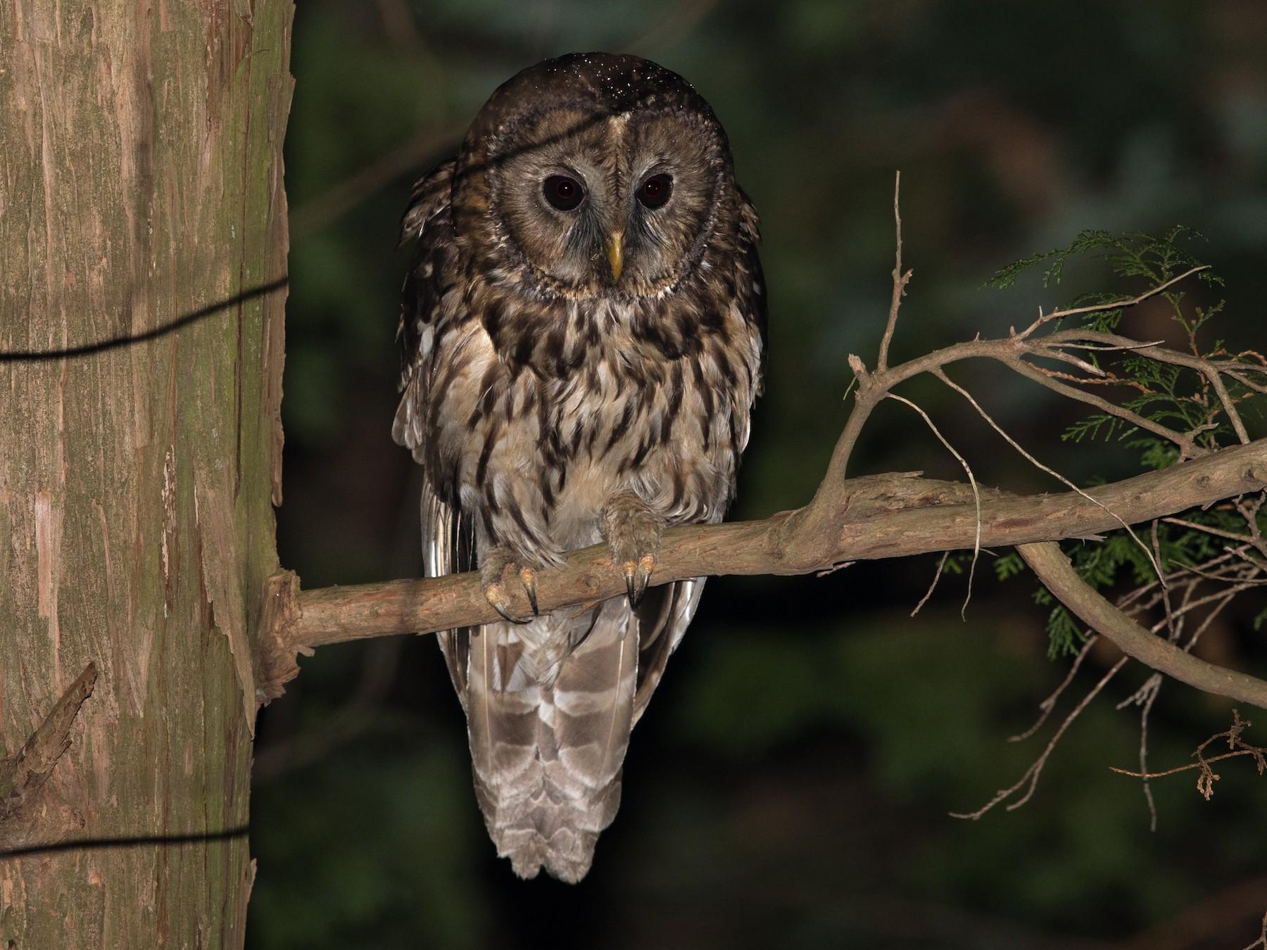 Ural Owl - yann muzika