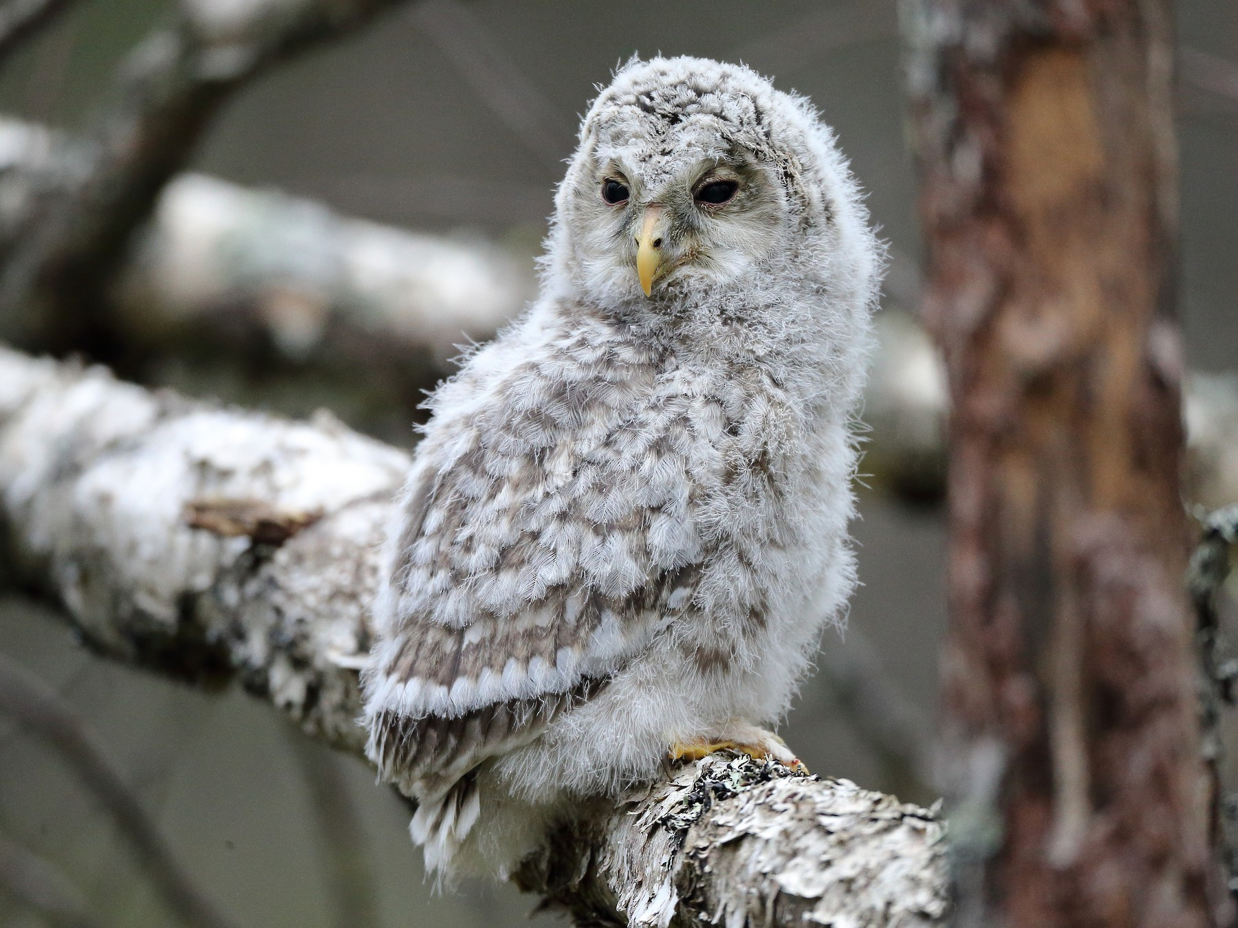 Ural Owl - Holger Teichmann