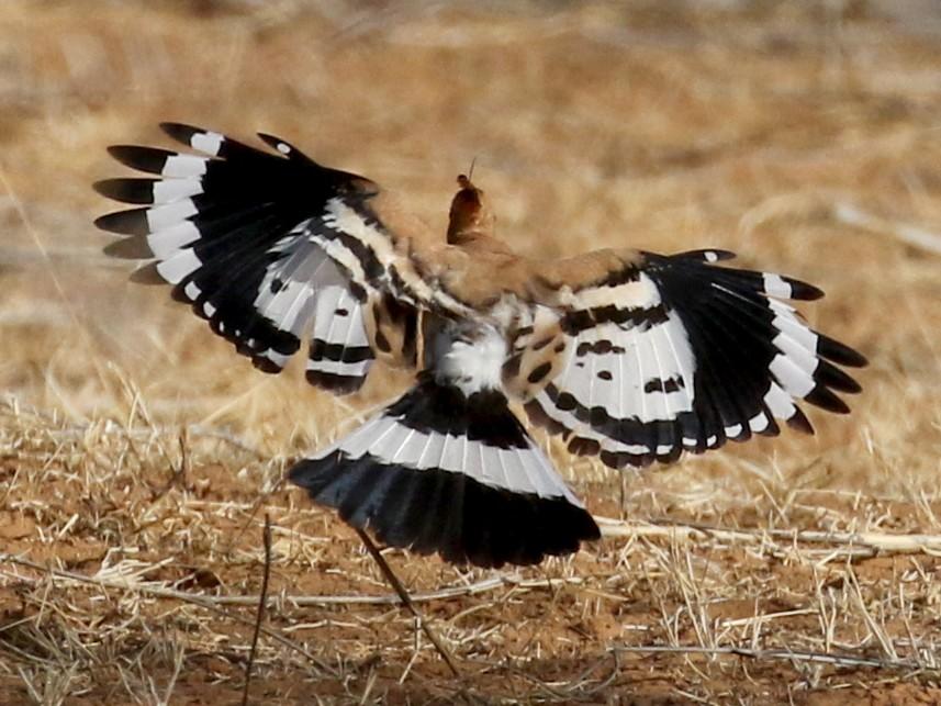 Eurasian Hoopoe - Jay McGowan