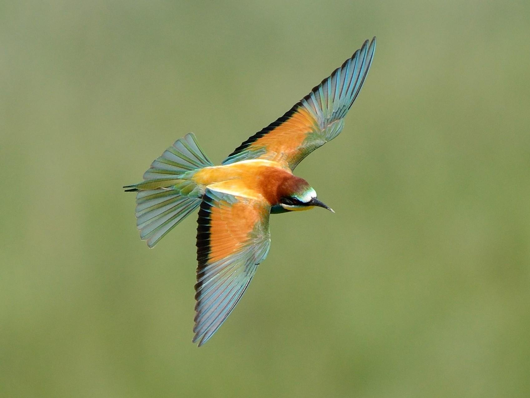 European Bee-eater - Pavel Štěpánek
