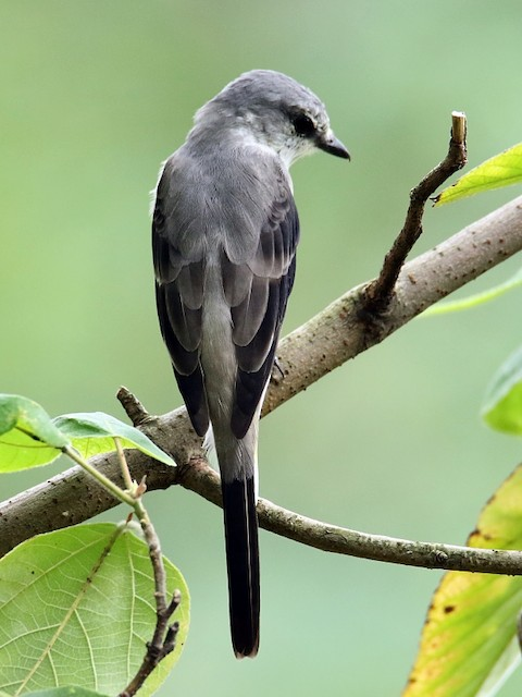 Brown-rumped Minivet