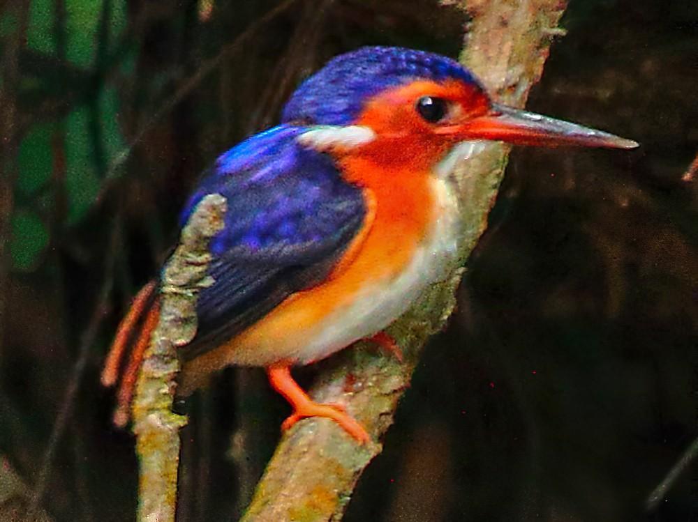 White-bellied Kingfisher - Markus Lilje