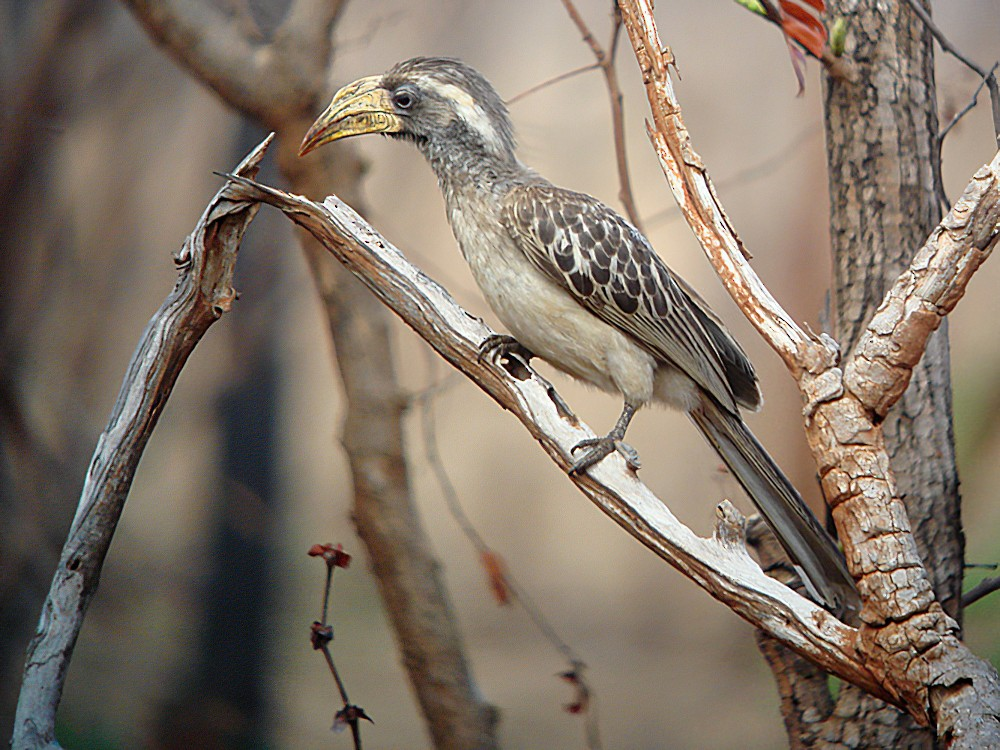 Pale-billed Hornbill - Nik Borrow
