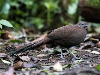 - Bronze-tailed Peacock-Pheasant