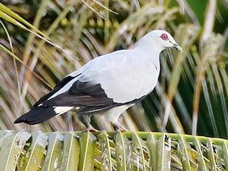 - Silvery Wood-Pigeon