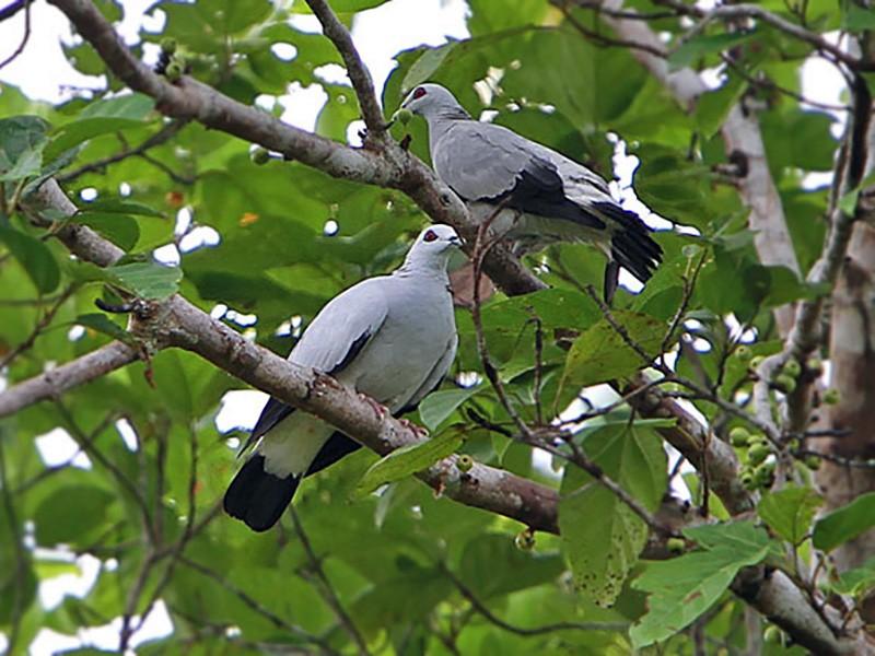 Silvery Wood-Pigeon - James Eaton