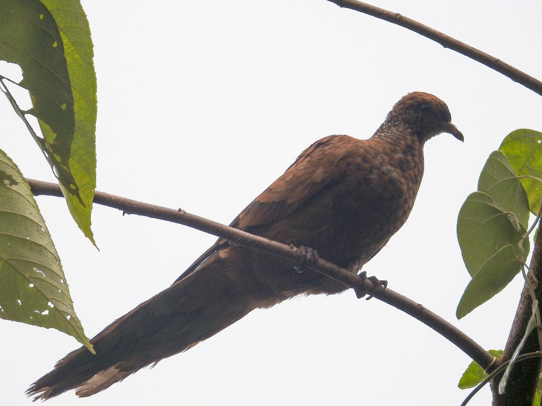 Barusan Cuckoo-Dove - Pam Rasmussen