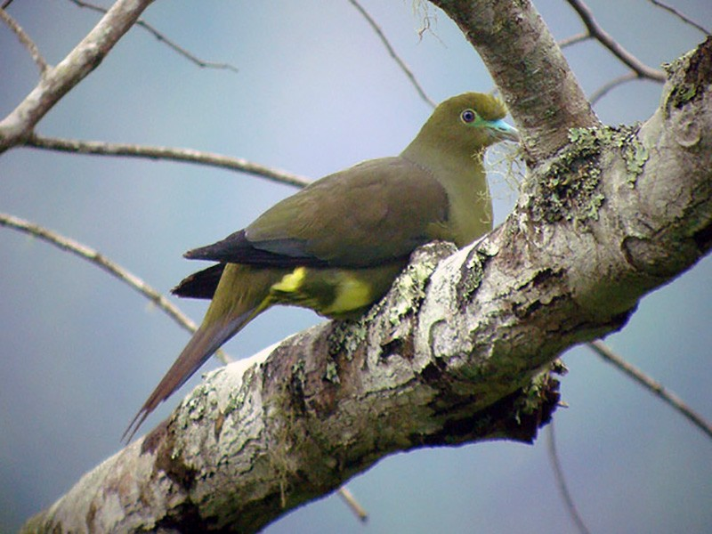 Green-spectacled Green-Pigeon - James Eaton