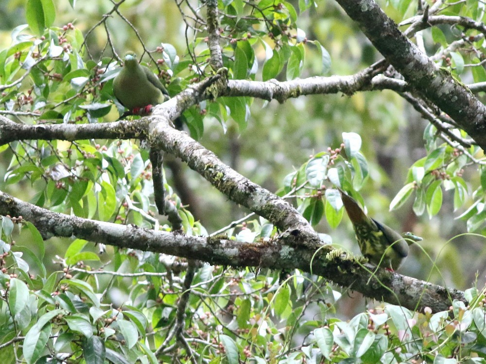 Green-spectacled Green-Pigeon - David Cooper