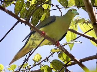 - Green-spectacled Green-Pigeon