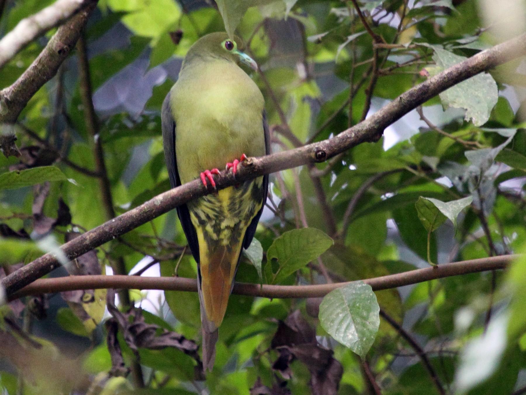 Green-spectacled Green-Pigeon - Richard Fuller