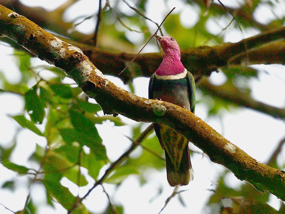 Pink-headed Fruit-Dove - Chaiyan Kasorndorkbua